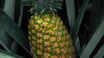 راز شیرین آناناس
