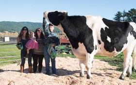 بزرگترین گاو جهان با یک هزارو 46 کیلو وزن و بیش از دو متر قد