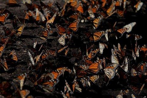 پروانه های سلطنتی درمسیرمهاجرت در مکزیک استراحت می کنند
