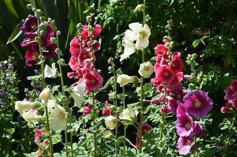 خواص گل ختمی | خواص گل ختمی برای پوست و مو | خواص گل ختمی برای سرماخوردگی