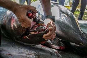 مرگ آبزیان در سواحل جزایر موریس به دلیل نشت نفت از یک نفت کش