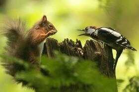دعوای سنجاب و دارکوب