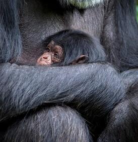 تولد نوزاد شامپانزه در باغ وحشی در انگلیس