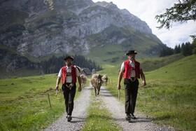 چوپانان سوئیسی از چراگاه های تابستانی بازمیگردند