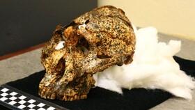 جمجمه دو میلیون ساله «عموزاده» اجداد انسان پیدا شد