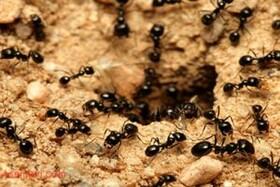 روش مورچه ها برای درمان زخم هایشان!