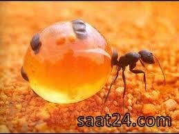 خواص روغن مورچه